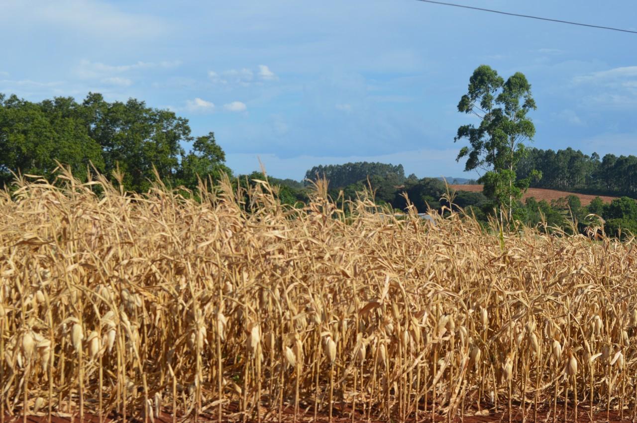 Estiagem compromete mais da metade da produção de milho