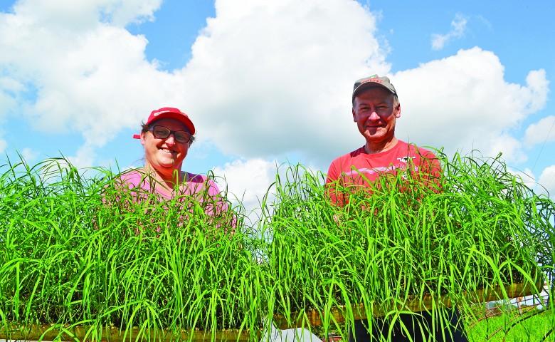 Por ciclo, Elaine e André cultivam em média 120 mil mudas de grama das variedades Tífton 85 e Jiggs