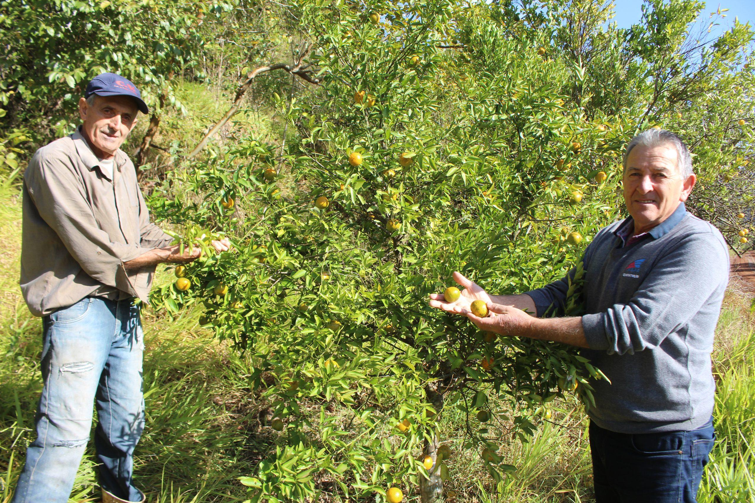 Estresse hídrico afeta produção de citros