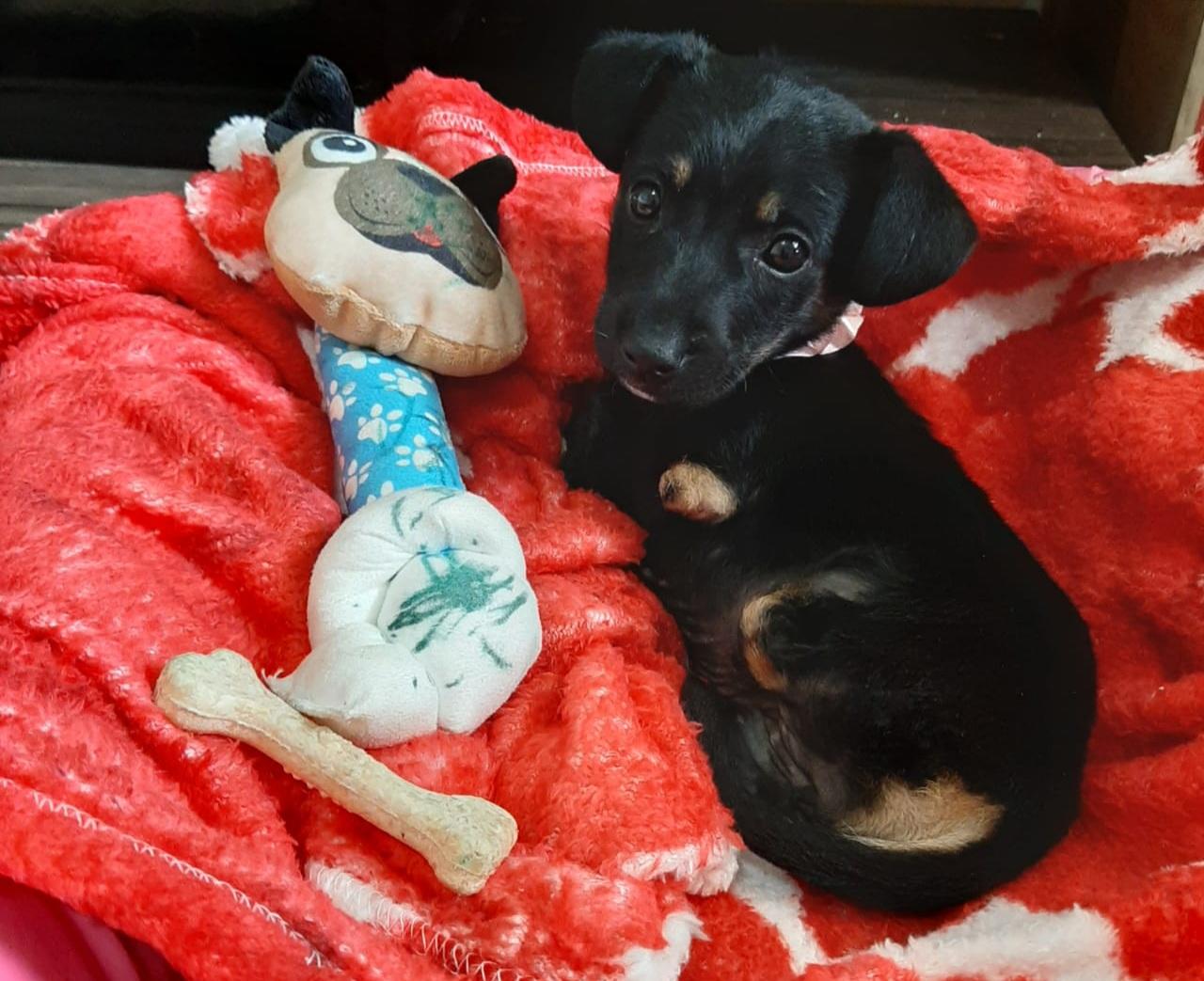 Cães que nasceram sem as quatro patas ganham lares em Encantado