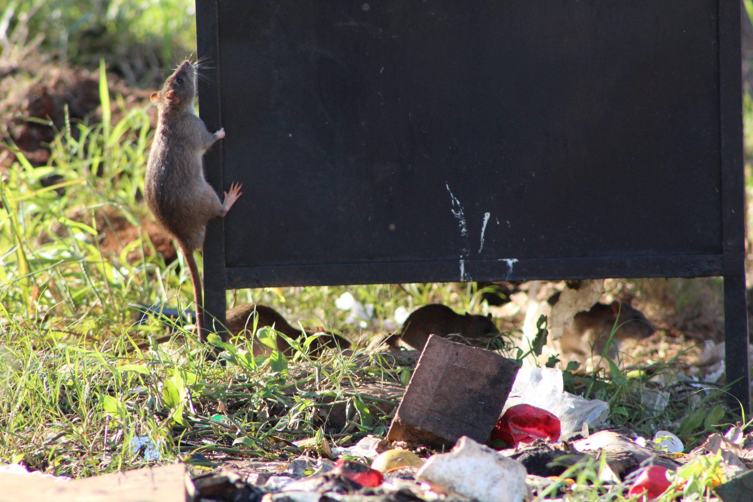 Ratos infestam terrenos e lixeiras no Moinhos d'Água
