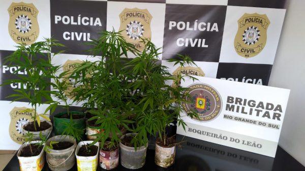 Polícia Civil apreende pés de maconha em meio plantação de fumo