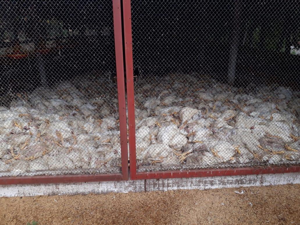 Falta de energia causa morte de 29,5 mil frangos em Arroio do Meio
